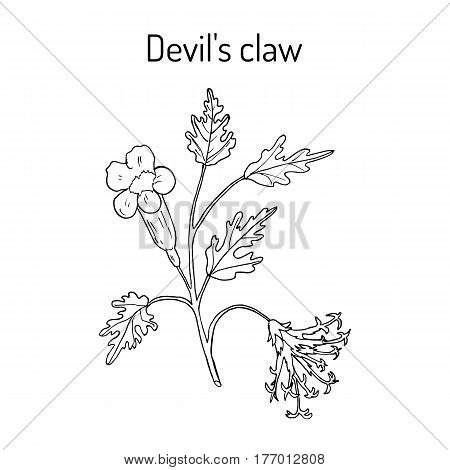 Devil s Claw Harpagophytum procumbens or grapple plant wood spider. Hand drawn botanical vector illustration