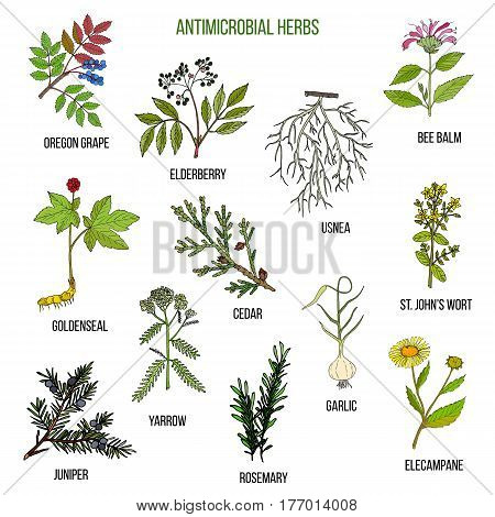 Antimicrobial herbs. Hand drawn vector set of medicinal plants
