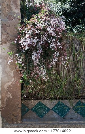 Sunlit Fresh Jasmine Flowers