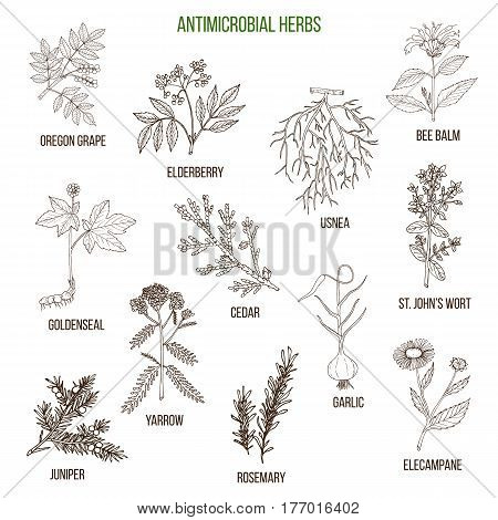 Antimicrobial herbs. Hand drawn vector set of medicinal plants