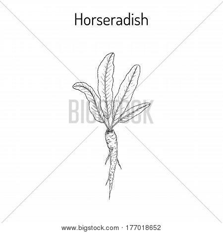 Horseradish Cochlearia Armoracia - Vegetable, Medicinal Plant