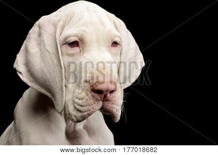 Portrait Of A Cute Great Dane Puppy