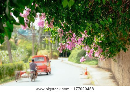 Pink flower blossom pathway in Thailand. Vibrant tropical nature with scooter and a car at a rural road, outdoor summer landscape of Phuket