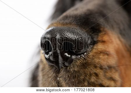 Close Shot Of An English Cocker Spaniel's Nose
