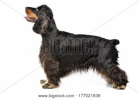 Studio Shot Of An Adorable English Cocker Spaniel