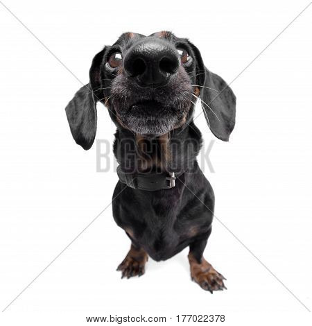 Wide Angle Shot Of An Adorable Dachshund