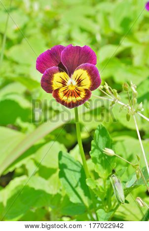 A close up of the small varigated flower violet.