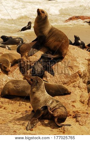 Seals and fur seals on the Boulders Beach located in the Cape Peninsula, South Africa