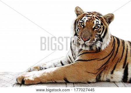bengal tiger white background wild animal  feline