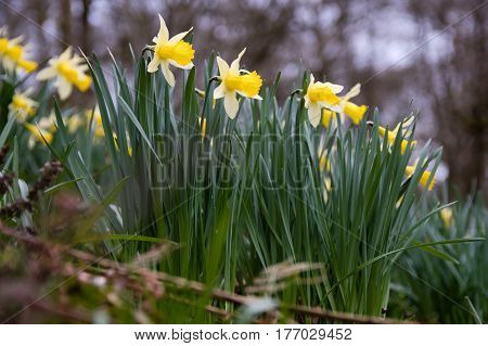 Wild daffodils (Narcissus pseudonarcissus pseudonarcissus). Native daffodil aka lent lily in flower in Oyster's Coppice woodland in Wiltshire UK