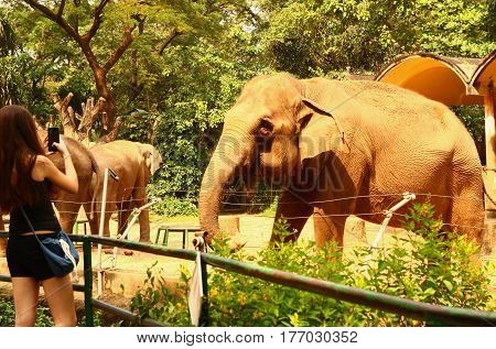 elephants in zoo summer sunny photo with tourist take photo