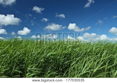 Green grass and blue sky in danish landscapes in the summer