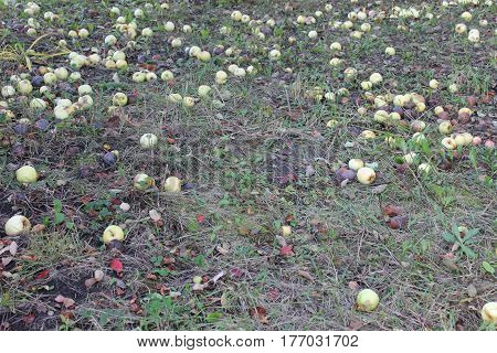 Photo of fallen apples ripe and rotten lying in dry grass