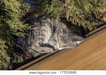 A cat sleeping in a big wooden pot with cypress at Uplistsikhe Georgia Caucasus mountains.