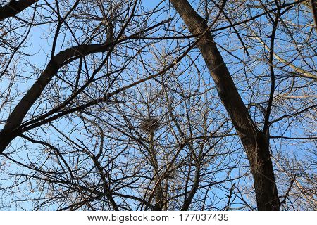 Crow's nest on a tree against the sky in early spring