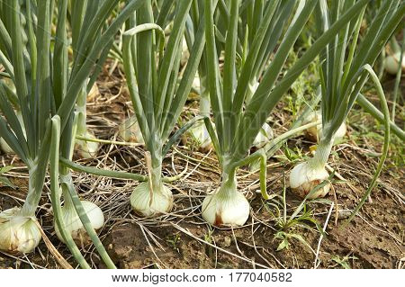 Green onions grow in the garden closeup