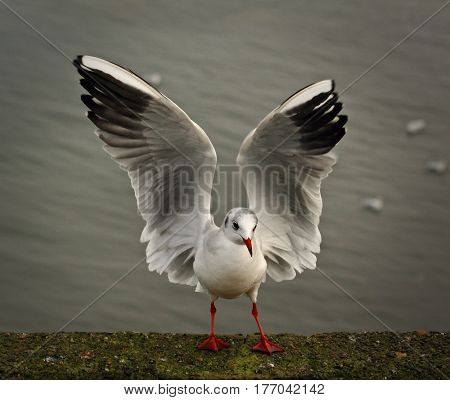 Seagull with open wings standing after flying
