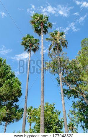 Three tall thin palm trees shot up into the blue sky