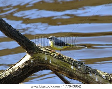 Grey wagtail perched on branch washed down river