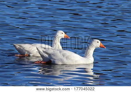 Two white geese swimming on a pond in winter