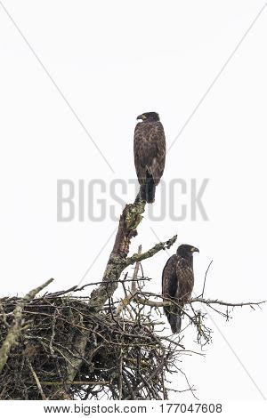 a pair of fledgling bald eagles on a nest in Alaska