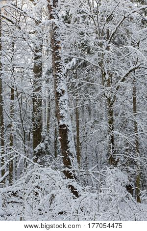 Winter landscape of natural forest with dead oak tree trunk lying, Bialowieza Forest, Poland, Europe