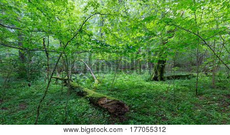 Natural deciduous stand of Bialowieza Forest with old broken tree and ferns, Bialowieza Forest, Poland, Europe