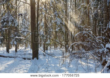 Snowfall in sun inside natural standwith snow wrapped broken tree in foreground, Bialowieza Forest, Poland, Europe