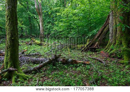 Old broken linden tree in summertime deciduous stand, Bialowieza Forest, Poland, Europe