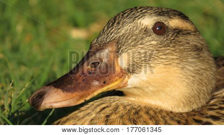A close up of a brown duck basking in the sunlight during winter to get warm
