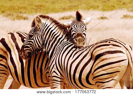 Tenderness of a zebras pair  in South Africa