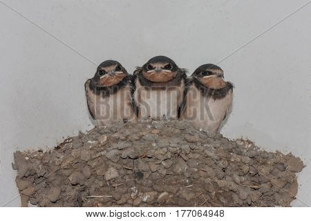 Three funny swallow chicks in a nest