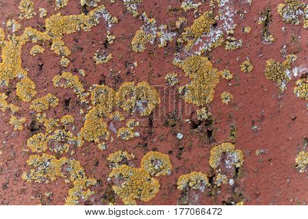 The yellow lichen Xanthoria calcicola on a red background.