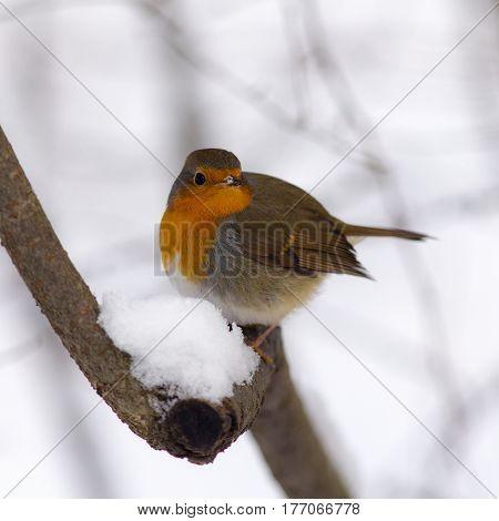 Robin on a tree branch in winter