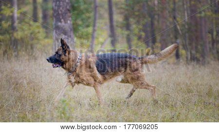 Big german shepherd dog - pet in the autumn forest, telephoto