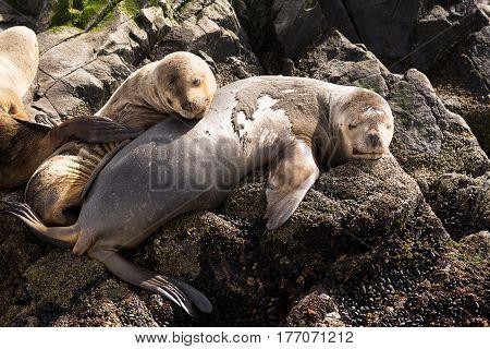 Sea lions on island in beagle channel near Ushuaia (Argentina)