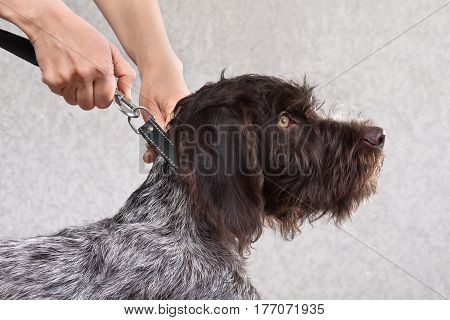 woman hands fastening the leash to collar of dog