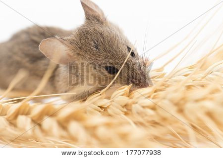 Mouse on wheat . Photo taken by professional camera and lens