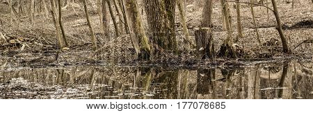 A charming spring forest a beautiful view in the foreground a pond on the back trees supplies of firewood and stumps