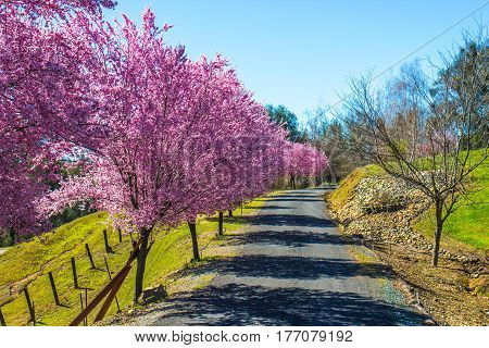 Blooming Cherry Blossoms On Side Of Private Lane