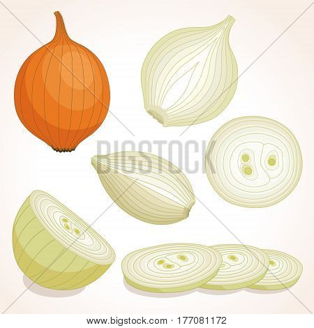 Yellow whole onion. Half, slice and onion rings. Vector illustration