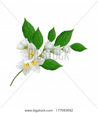 branch of jasmine flowers isolated on white background. Flat lay top view.