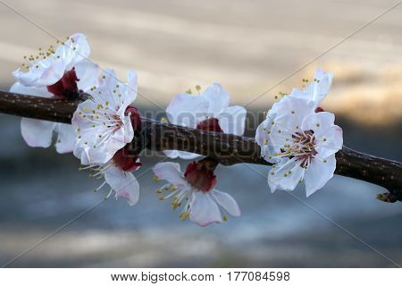 White Apricot Flowers Branch On A Spring Day. Closeup