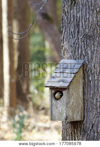 Wren in weathered wood bird house on sweet gum tree