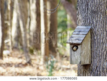 Wren in weathered wood bird house on sweet gum tree, horizontal with woods background