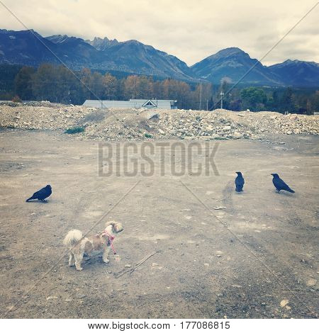 Small brown and white dog standing in gravel covered area with three large black ravens. Rooftop trees mountains and cloudy sky background.