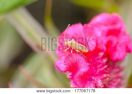 Insects On Celosia Argentea Flower