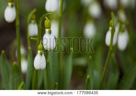 подснежники крупным планом,фокус на белый бутон цветка