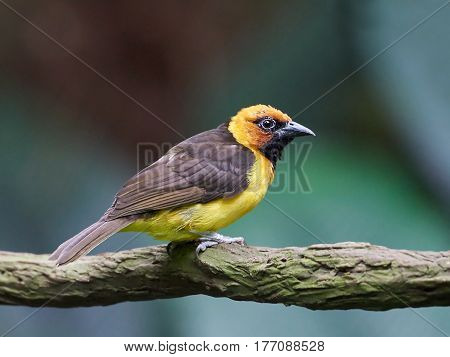 Black-necked weaver sitting on a branch in its habitat