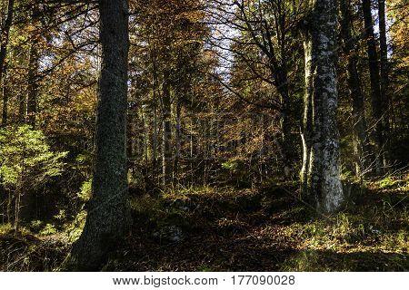 scene of an alpine forest in autumn